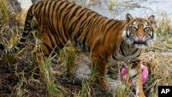 Seekor harimau Sumatera (foto: ilustrasi).