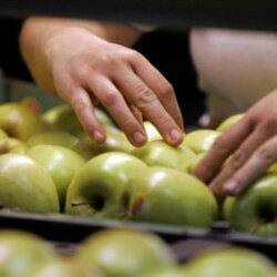 Workers inspect Golden Delicious apples for packing at the Rice Fruit Company in Gardners, Pennsylvania