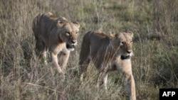 سفاری پارک انتظامیہ کے مطابق 17 سالہ بلال غالباً گھاس کاٹنے کی غرض سے شیروں کے پنجرے کے اندر داخل ہوا تھا جس پر شیروں نے پر حملہ کر دیا۔ (فائل فوٹو)