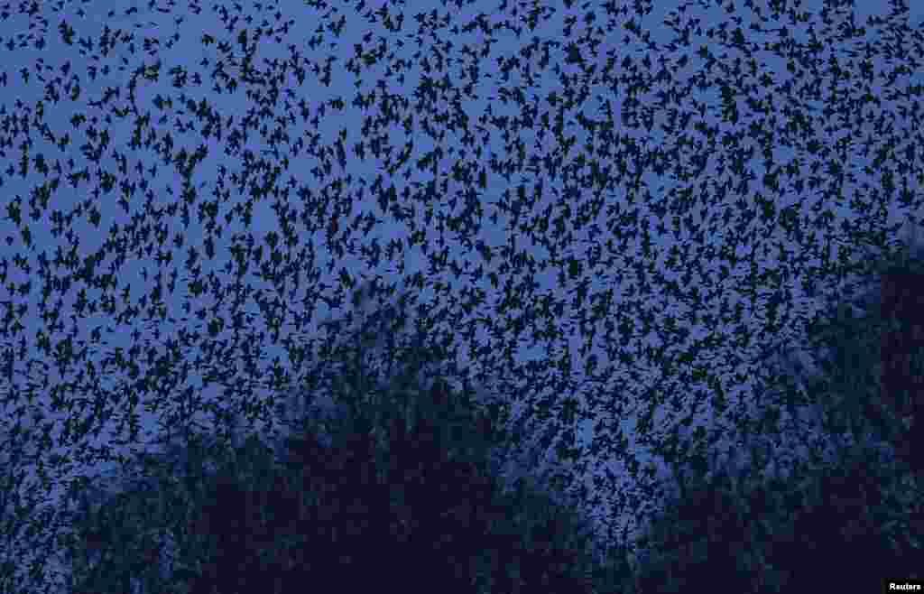 Ribuan burung jalak terbang di atas rawa-rawa saat kembali untuk beristirahat menjelang senja di Glastonbury, Somerset, Inggris.