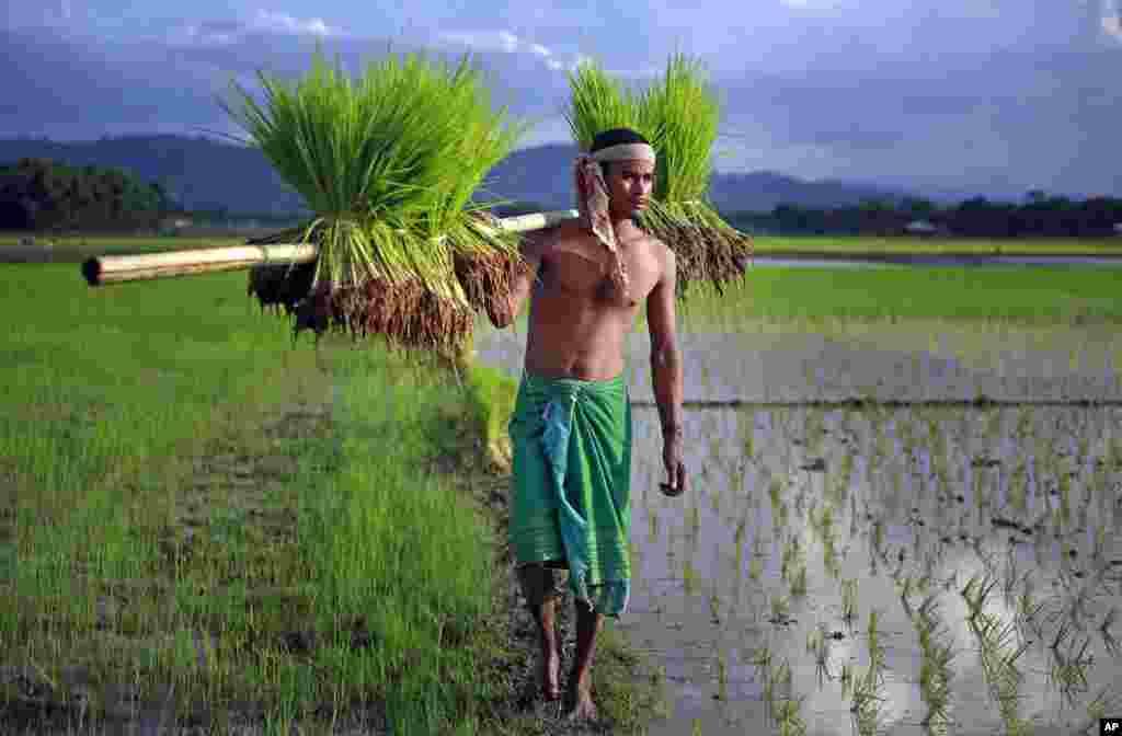 Seorang petani membawa bibit padi untuk ditanam di Gauhati, India.