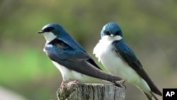Tree swallows are common backyard birds that nest across North America and migrate through the Gulf of Mexico.