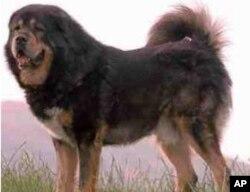 دنیا کا سب سے مہنگا کتا