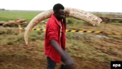 FILE - A Kenya Wildlife Service (KWS) worker carries a tusk of an elephant to a burning site at the KWS headquarters in Nairobi, Kenya, April 20, 2016. During the Giants Club Summit on Friday, African countries were encouraged to destroy their ivory stockpiles.