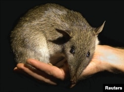 A native Australian Long-nosed Bandicoot is held by its keeper as it is moved after a medical check-up at Sydney's Taronga Zoo, March 27, 2001. This orphaned baby bandicoot was saved from an attack by a domestic pet, which have reduced the number of these shy marsupials.