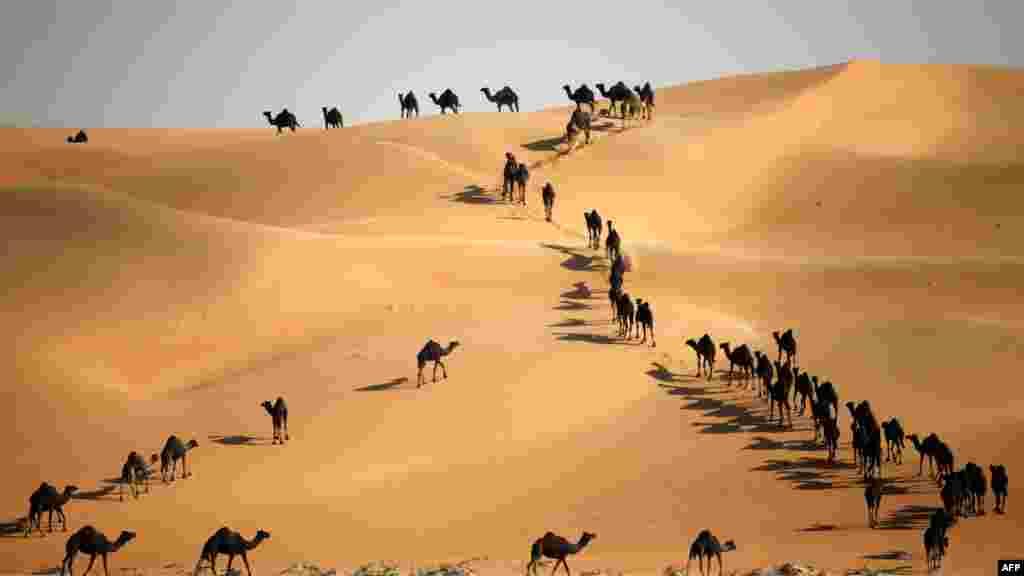 Segerombolan unta berjalan melewati bukit pasir di padang pasir Liwa, 220 kilometer sebelah barat Abu Dhabi.