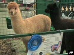 Owners of prize-winning alpacas can command top dollar for their fleece.