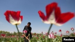 FILE - An Afghan man works on a poppy field in Jalalabad province April 17, 2014.