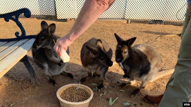 Algunos los conocen como canguros, otros como pie grande, pueden alcanzar una velocidad de 60 kilómetros por hora y saltar más de 8 metros de distancia. Son herbívoros y muy curiosos.