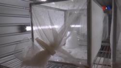 """O laço de """"amor"""" entre mosquito e malária"""