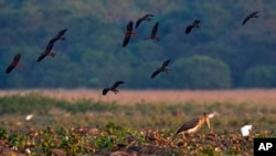 FILE - A lesser adjutant stork looks for fish in a wetland in Pobitora wildlife sanctuary, on the outskirts of Gauhati, India, Dec. 20, 2018.