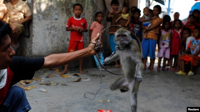 FILE - A trained monkey jumps through a hoop during a Topeng Monyet (Monkey Mask) show, a traditional Indonesian street performance, in east Jakarta.