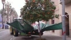 Rung cây nhặt cam ở Tây Ban Nha