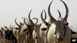 Cattle in Warrap State South Sudan (file photo 2009)