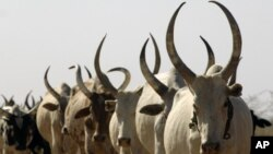 Cattle are a source of prestige and wealth in South Sudan and are seen by some officials as a cause of insecurity. (AP)