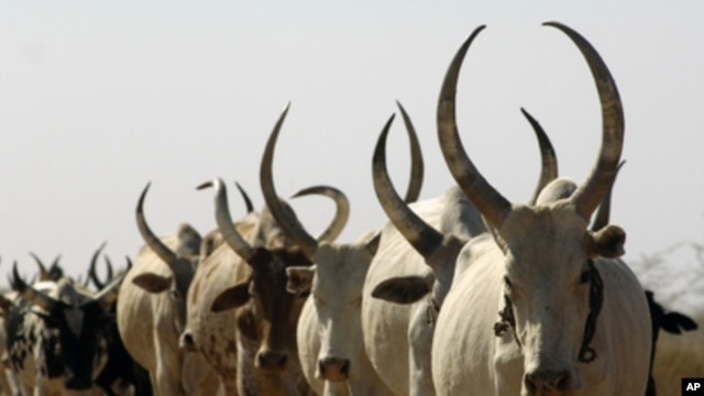 Cattle in Warrap State, South Sudan (file photo 2009)