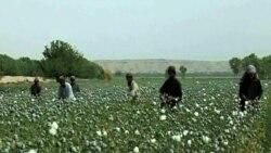 """Əfqansıtanda tiryək sənayesi """"çiçəklənir"""""""