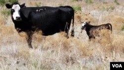 Las pérdidas agropecuarias por la sequía en Texas suman más de $5.000 millones de dólares.