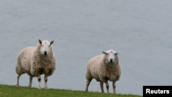 FILE - Sheep are seen in front of the shores of Carlingford Lough in Omeath, Ireland, Feb. 17, 2017.