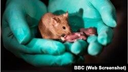 Chuột sinh ra từ hai mẹ có khả năng sinh con. Ảnh: BBC