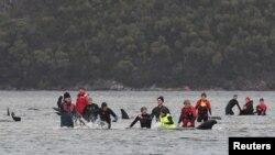 Upaya penyelamatan paus yang terdampar di Macquarie Harbour, dekat Strahan, Tasmania, Australia, 22 September 2020. (Foto: AAP / The Advocate Pool, Brodie Weeding)