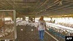 Người gốc Việt nuôi gà gia công: chồng gà, vợ nail, tiền vào như nước