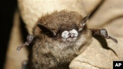 Seekor kelelawar coklat kecil ditemukan di sebuah gua di New York ini, menderita penyakit jamur hidung putih (Foto: dok). Penyakit ini memusnahkan ribuan kelelawar di AS dan Kanada.