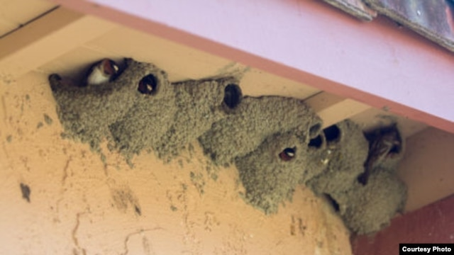 Although the swallows have yet to return to Capistrano, clusters of nests are seen in a neighborhood less than a quarter mile away. (Michael Juliano/KPCC)