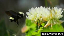 A bumblebee flies near clover flowers in Olympia, Washington.