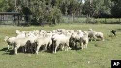 Sheep mustering on Warrook Cattle Farm in Monomeith, 76 kilometers (48 miles) south of Melbourne, Australia, March 23, 2011