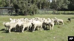 澳大利亚农场上的羊群