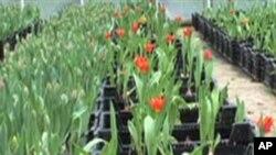 Thai Headline: สีสันดอกไม้ช่วงฤดูใบไม้ผลิกับโรงปลูกดอกทิวลิปที่ใหญ่ที่สุดในโลกที่รัฐเวอร์จิเนีย