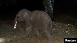 A baby elephant is seen after having received a CPR by a rescue worker after a motorcycle crash in Chanthaburi province, Thailand, December 20, 2020. Picture taken December 20, 2020. KUNCHAYLEK/ Handout via REUTERS