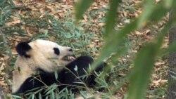 Интрига в зоопарке: как назвали детеныша панды?