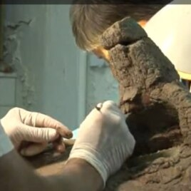 Researchers working on a horn of Kosmoceratops richardsoni