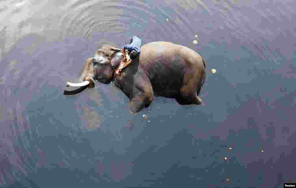 오염된 인도 뉴델리 야무나강에서 소년이 코끼리를 목욕시키고 있다.