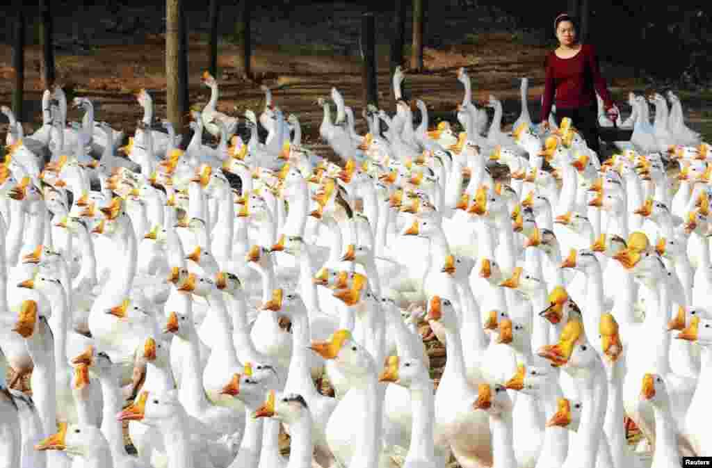 Zhang Yufeng memberi makan kawanan angsa di kota Xincai, Henan, China.