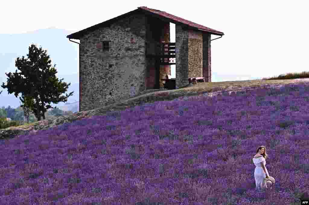 이탈리아 북부 쿠네오 언덕이 라벤더로 덮였다.