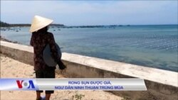 Rong sụn được giá, ngư dân Ninh Thuận trúng mùa