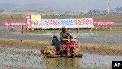 지난 5월 북한 남포의 청신리 협동농장에서 농부들이 모내기를 하고 있다.
