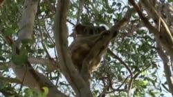 Drones Help Scientists Spot Australia's Endangered Koalas