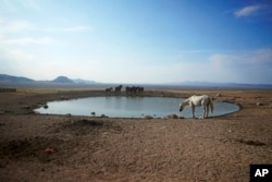 Wild horses gather around a pond in Simpson Springs on July 14, 2021, near the US Army Dugway Proving Ground, Utah.  The horses from that herd were then rounded up when federal land managers increased the number of horses taken off the course during a historic drought.  (AP Photo / Rick Bowmer)
