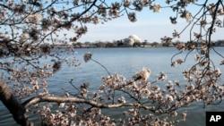 ชาวอเมริกันร่วมระดมทุนบริจาคเพื่อฟื้นฟูประเทศญี่ปุ่นในงานเทศกาลดอก Cherry Blossom หรือดอกซากุระ ที่กรุงวอชิงตัน