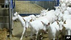 بکریوں کا فارم