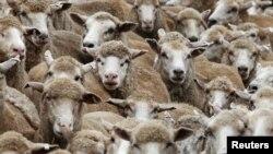 Los rebaños de ovejas nos pueden dar una lección en control de multitudes, según se desprende de un estudio.