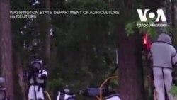 У США знищили перше гніздо «шершнів-вбивць». Відео