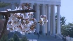 Црешите расцутеа во Вашингтон...уживајте!