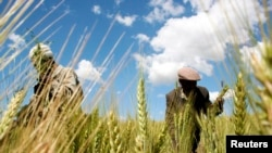 FILE - Ethiopian farmers collect wheat in their field in Abay, north of Ethiopia's capital Addis Ababa, Oct. 21, 2009.