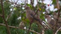 Թռչունների սիրահարը