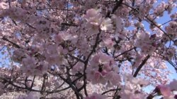 Washington's Famous Cherry Blossoms Are Out – So Are Many Visitors